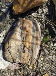 Fósiles vegetales Carbonífero